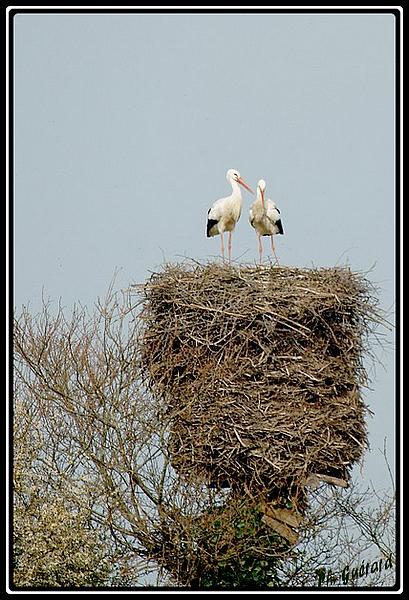 nid cigognes