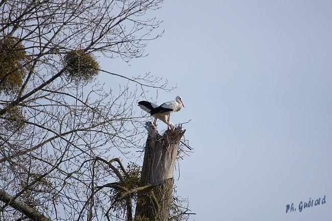 cigognes sur l'arbre