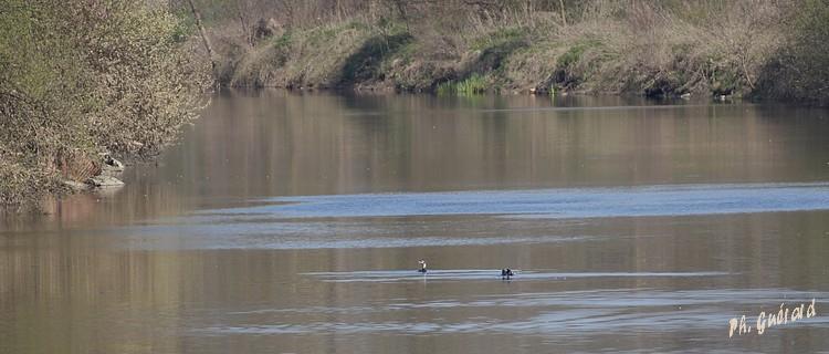 Cormorans sur la Vilaine