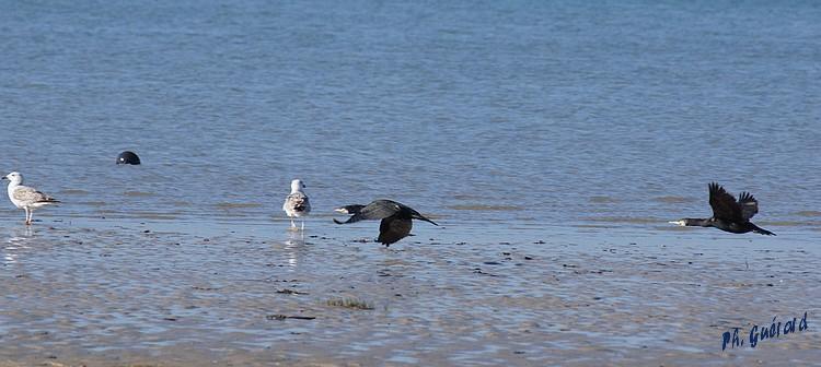 cormorans en vol