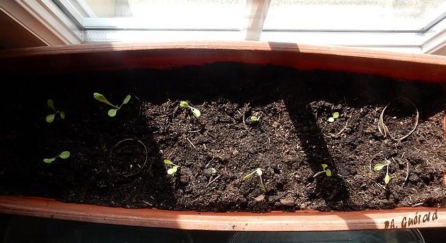 Les salades dans la jardinière