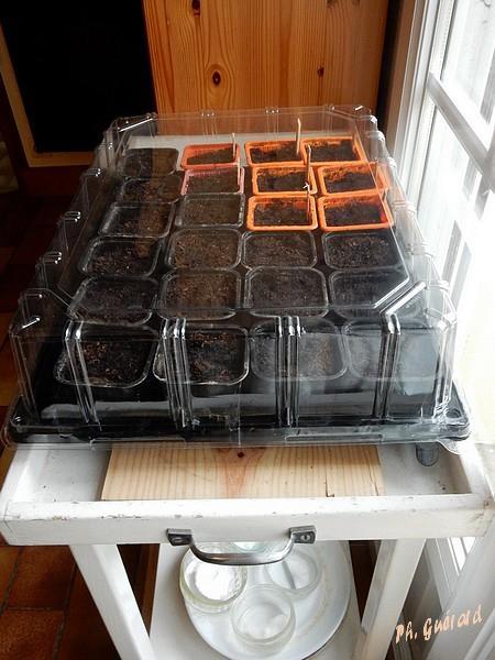 semis tomates + tournesol