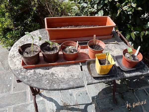 Semis de courges au soleil