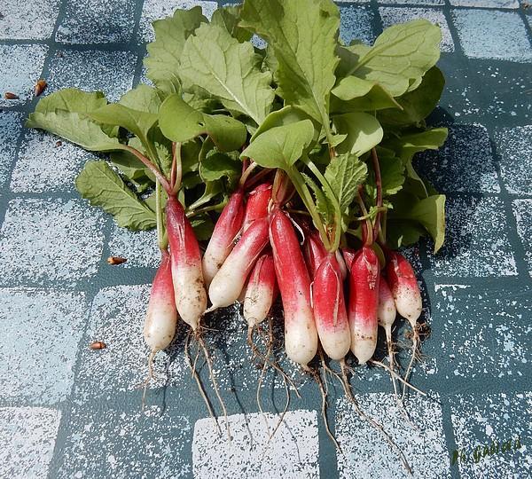 Cueillette de radis pour l'apéro