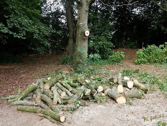 """Tas de bois """"en formation"""" le chêne n'est pas encore abattu"""