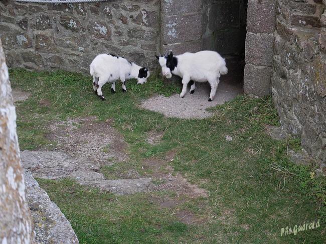 chèvres à l'entrée de la tour