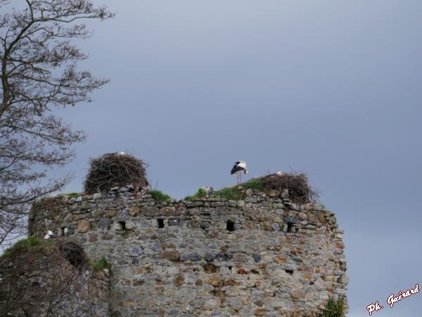 Cigognes dans les nids