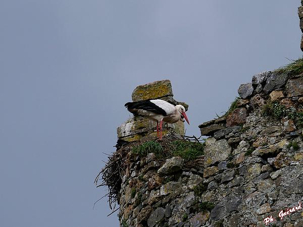 Cigogne dans un nid