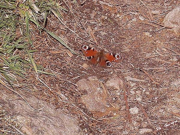 Papillon sur le chemin