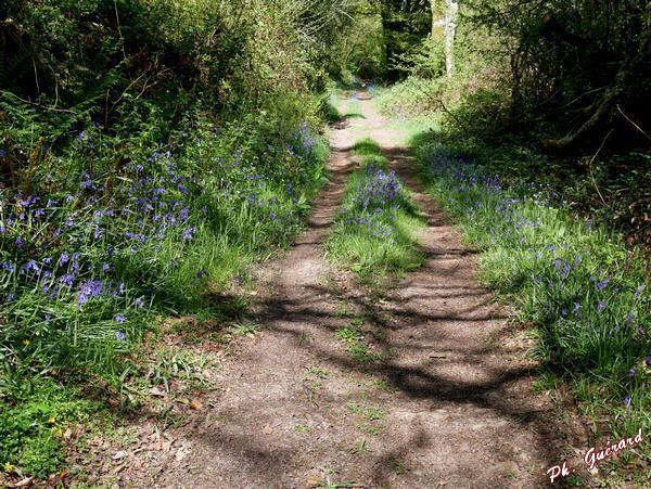 Chemin couvert de jacinthes